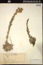 Image of Sempervivum hirtum