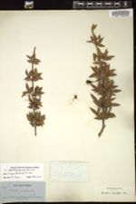 Image of Garcinia ruscifolia