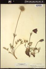 Anemone montana image