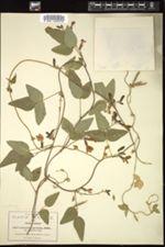 Image of Cologania pulchella