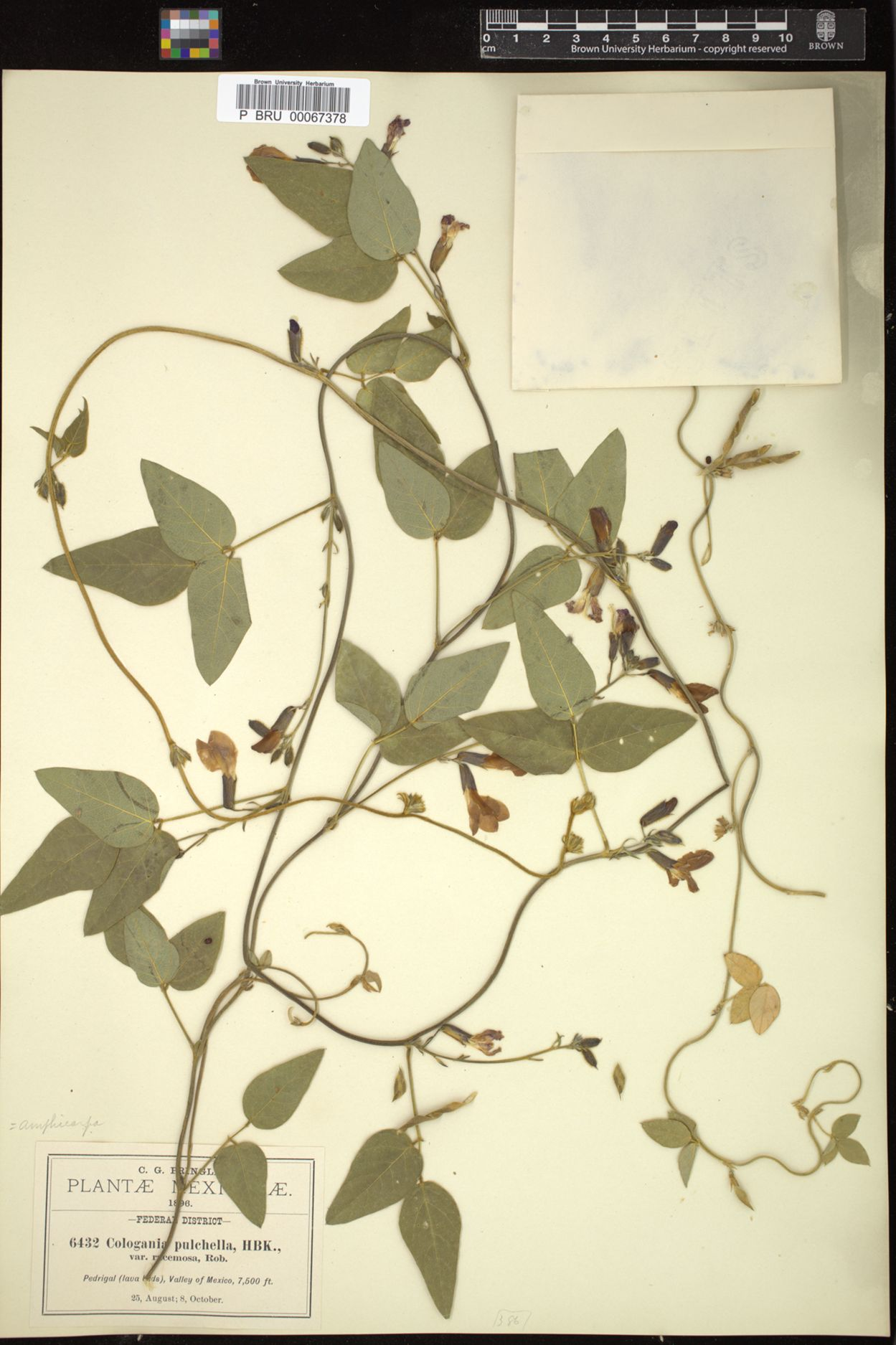 Cologania pulchella image
