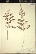 Image of Pellaea cordifolia