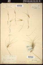 Image of Elymus crinitus
