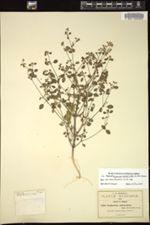 Euphorbia delicatula image