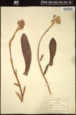 Image of Echeveria lozanii