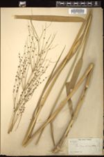 Image of Panicum altissimum