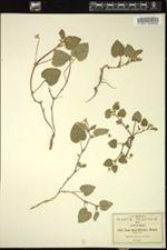 Image of Viola flagelliformis