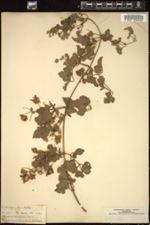 Image of Clematis brachiata
