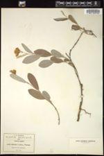 Image of Clitoria sericea