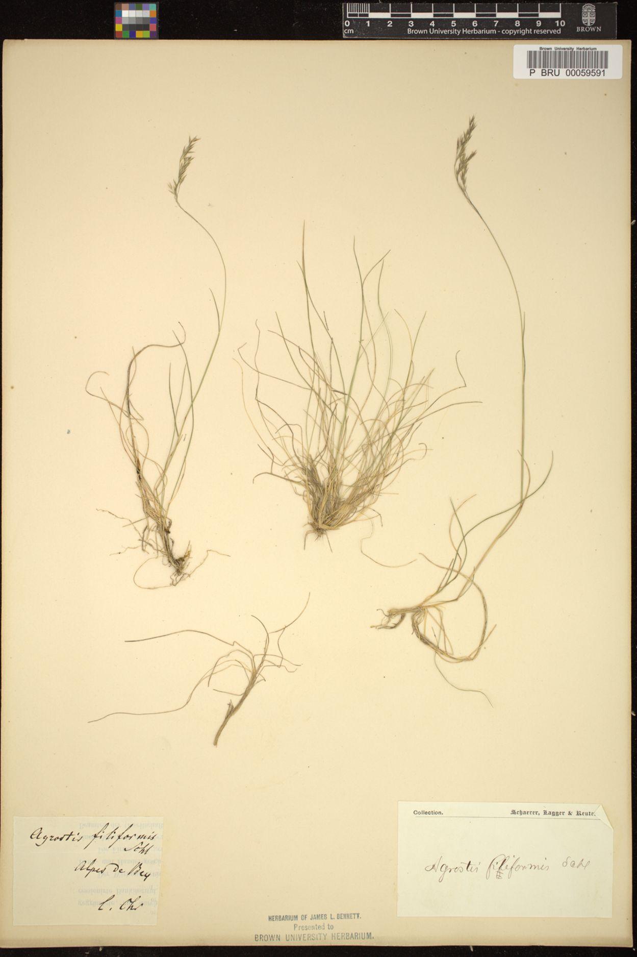 Agrostis filiformis image