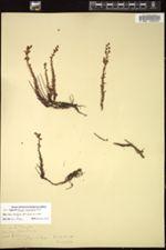 Villadia minutiflora image