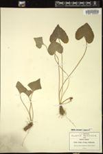 Image of Viola ciliata