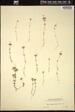 Image of Gilia bicolor