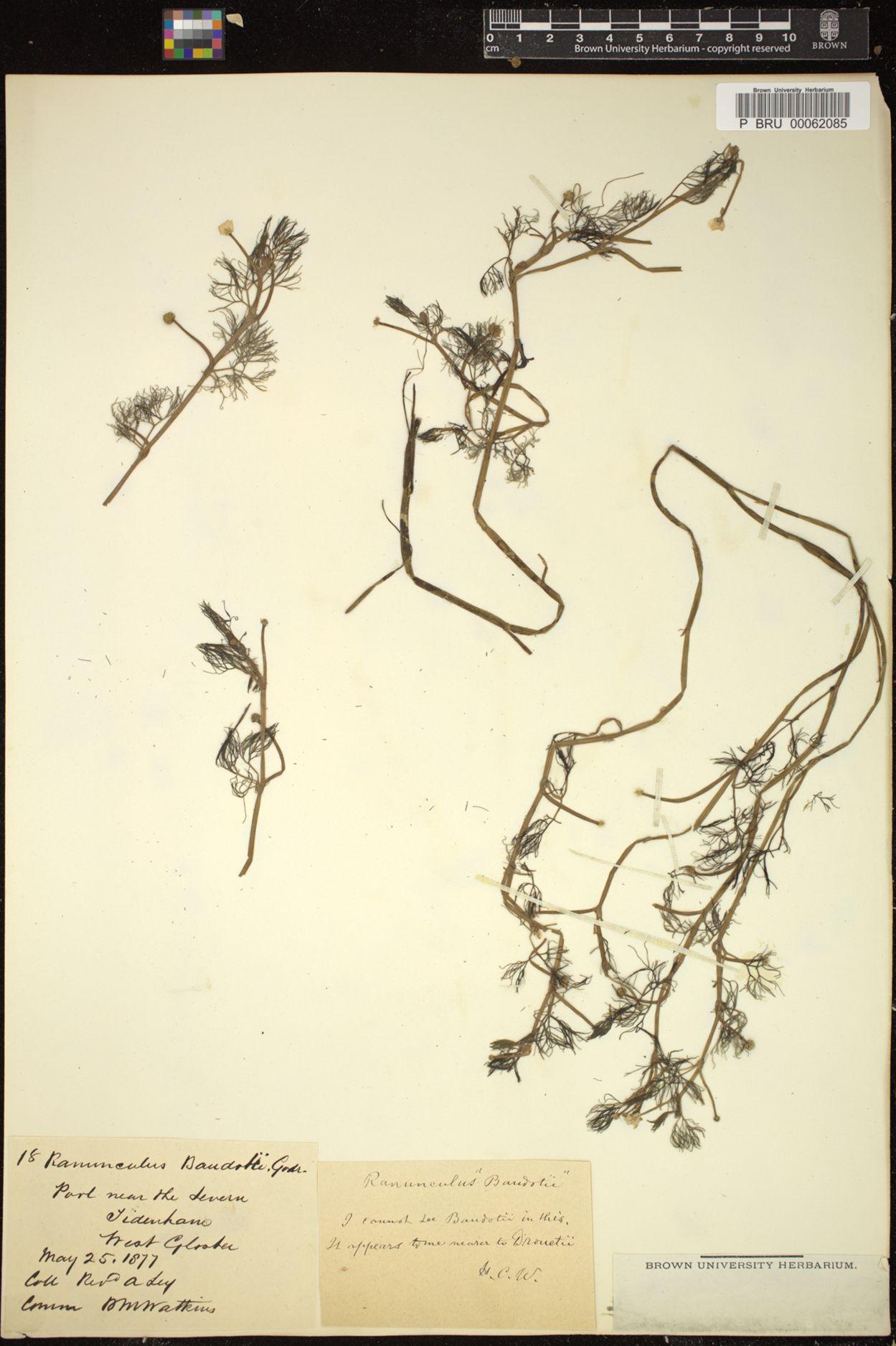 Ranunculus peltatus subsp. baudotii image