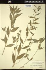 Image of Hybanthus riparius