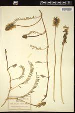 Image of Astragalus strigosus