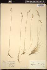 Aegilops ventricosa image