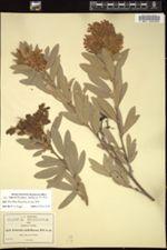 Image of Eriosema multiflorum
