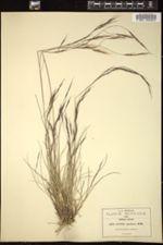 Image of Aristida spadicea