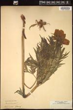 Image of Paeonia anomala