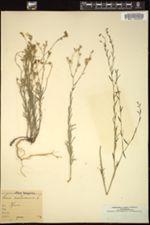 Image of Linum austriacum