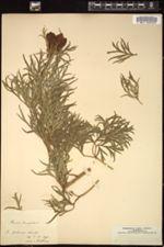 Image of Paeonia tenuifolia