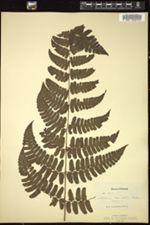 Image of Asplenium crenulatum