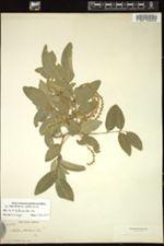 Image of Ateleia apetala