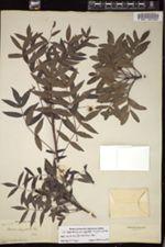Image of Bursera angustata