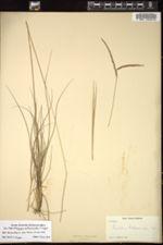 Image of Paspalum rottboellioides