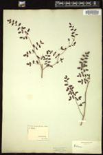 Image of Pellaea andromedifolia