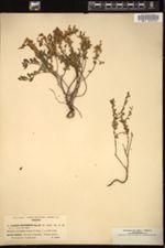 Cytisus decumbens image