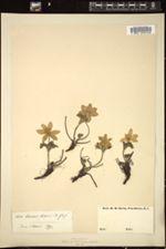 Anemone alpina image