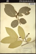 Image of Bunchosia argentea