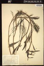Ranunculus fluitans image