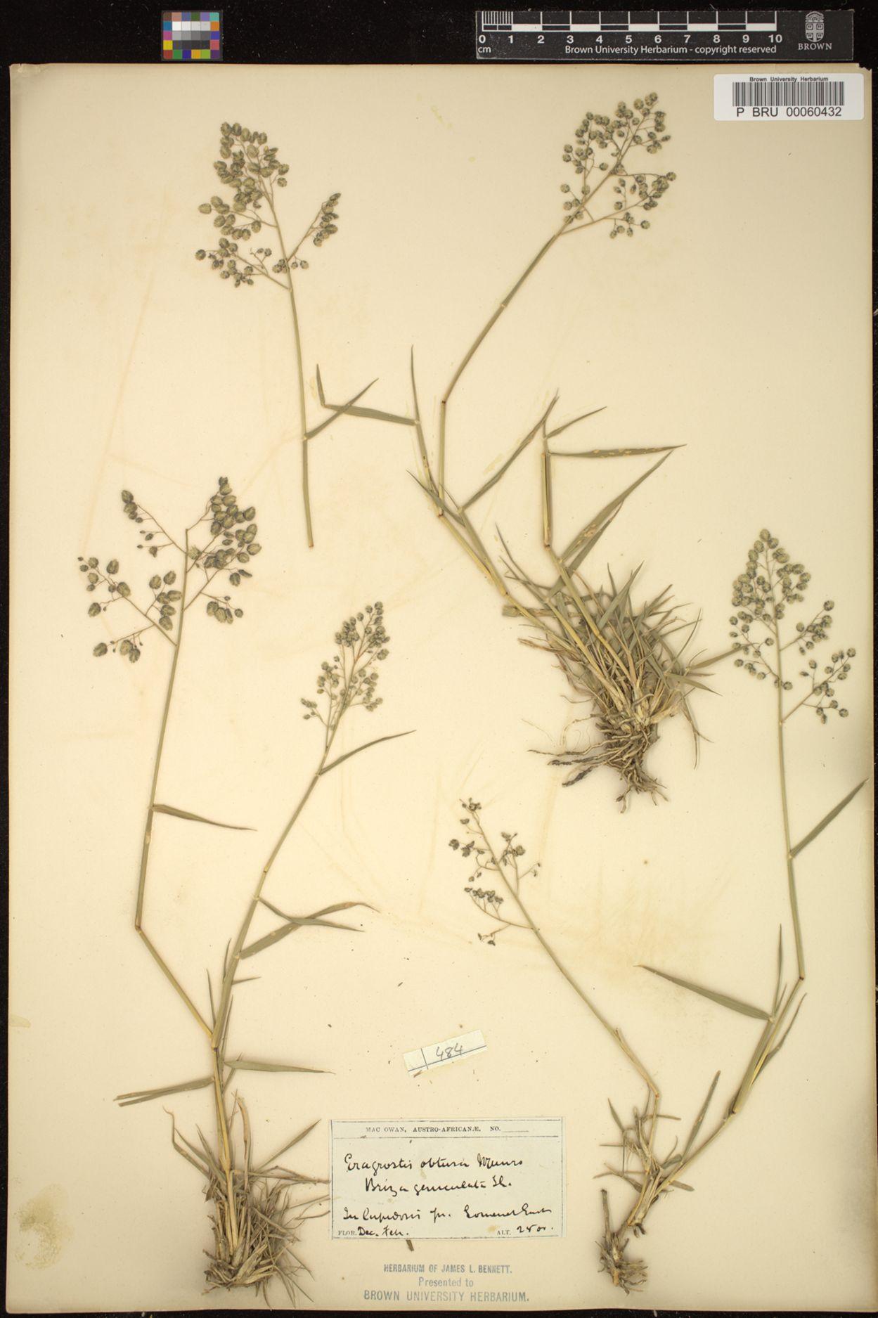 Eragrostis obtusa image