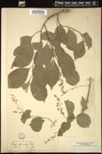 Image of Celastrus paniculatus