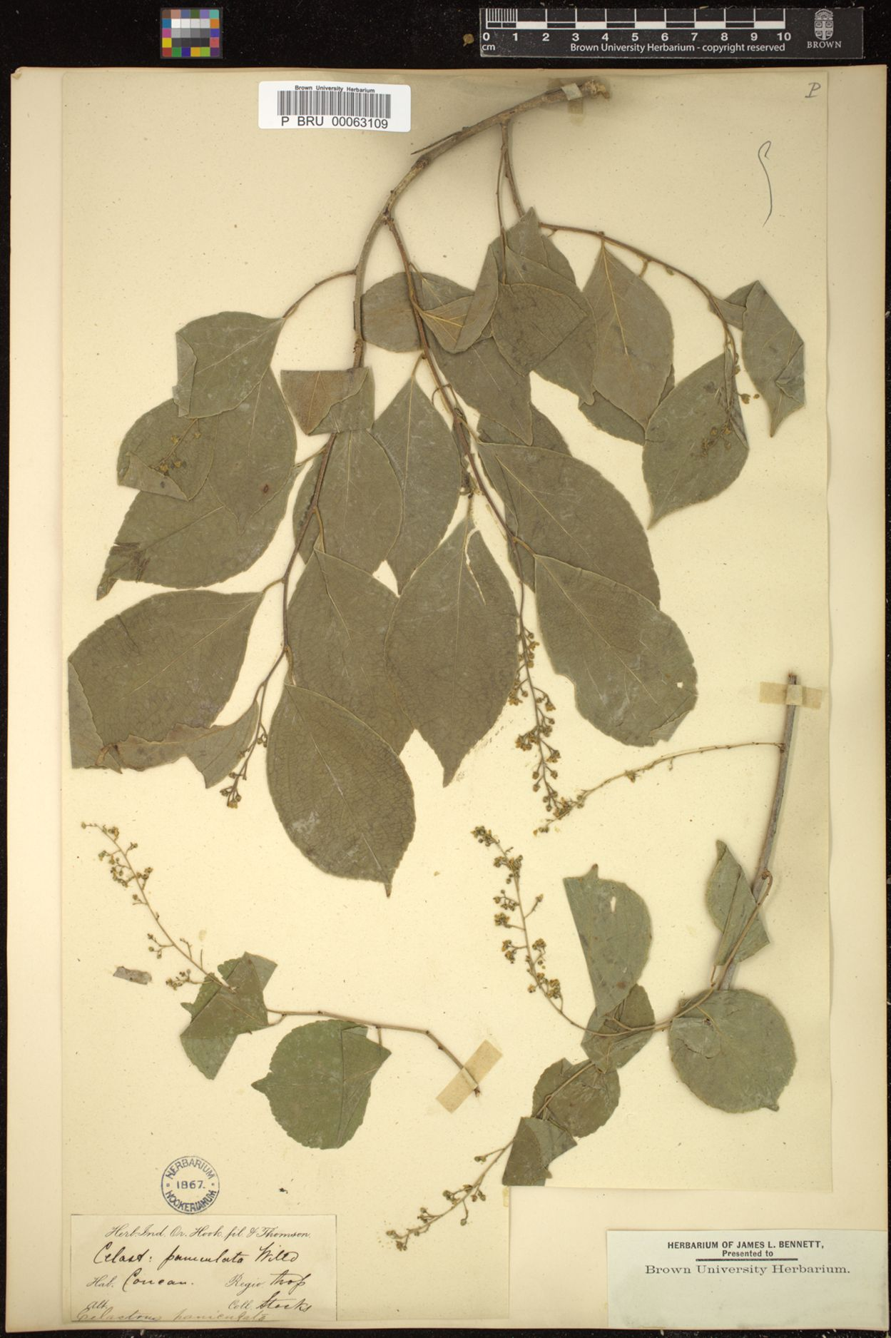 Celastrus paniculatus image