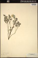 Image of Corydalis capnoides