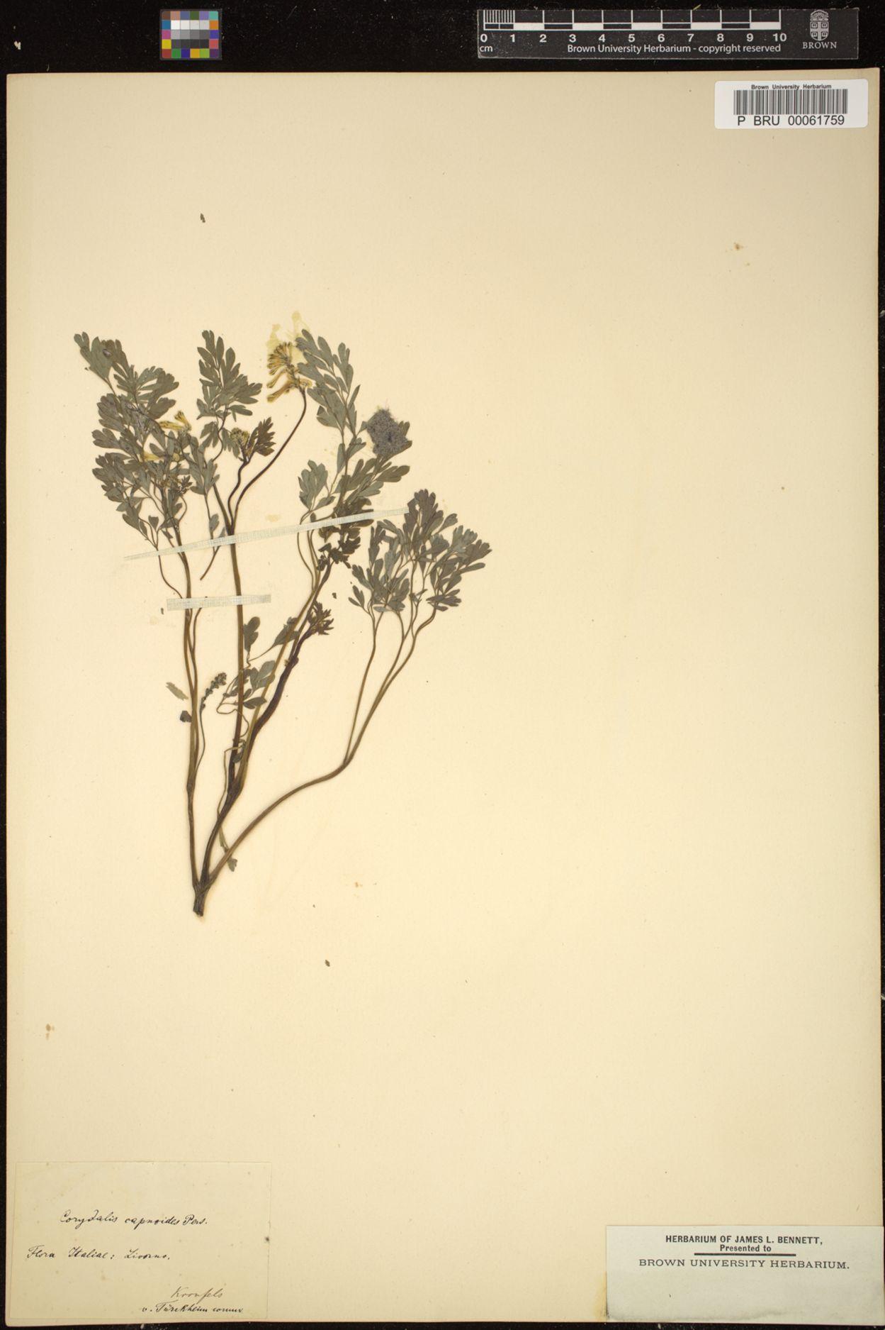 Corydalis capnoides image