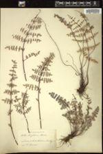 Image of Pellaea wrightiana