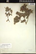 Image of Malpighia wrightiana