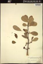 Erythroxylum brevipes image