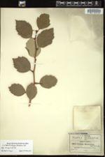 Crataegus baroussana image