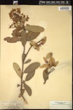 Image of Acridocarpus natalitius