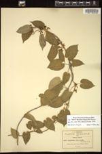 Image of Gonolobus chrysanthus