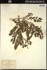 Cassia polyantha image