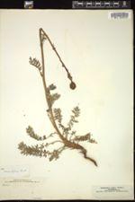Image of Acaena trifida