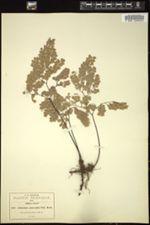 Image of Adiantum glaucophyllum