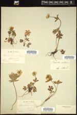 Ranunculus montanus image